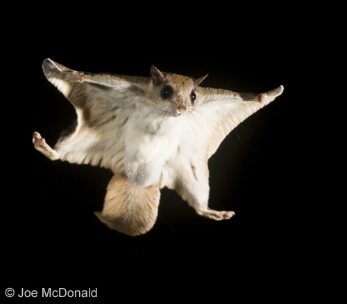 Southern-Flying-Squirrel-Photo-Credit-Joe-McDonald2